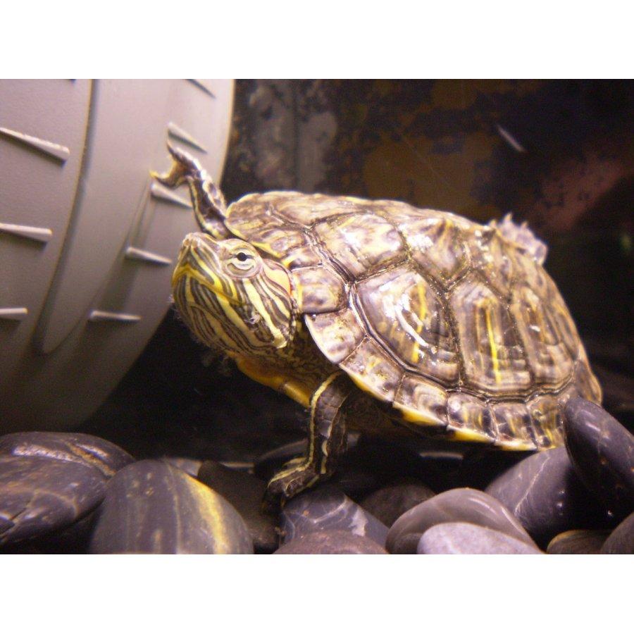 Żółw czerwonolicy. Autor: Surtsicna